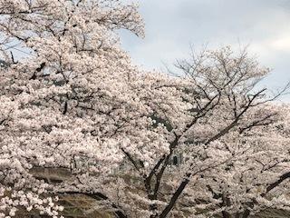 桜 6.jpg