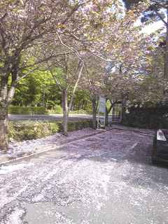 櫻 絨毯.JPG